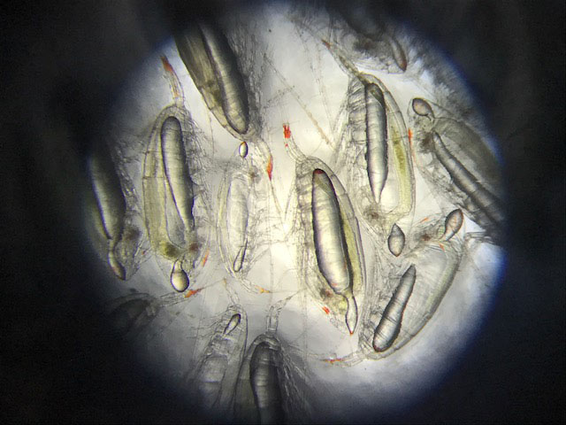 Zooplankton, such as these copepods (literally 'oar feet'), represent a crucial link between microscopic marine algae and fish in marine food chains.